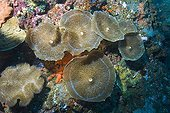 Giant Cup Mushroom Coral or Giant Coral Anemone (Amplexidiscus fenestrafer), Indonesia, Southeast Asia