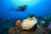 Scuba diver swimming behind a Giant Cup Mushroom Coral or Giant Coral Anemone (Amplexidiscus fenestrafer) attached to black volcanic seabed, Indonesia, Southeast Asia