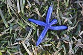 Blue Starfish at low tide Messah Pulau Flores Indonesia