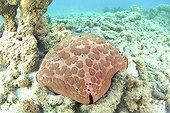 Spiny cushion star Mayotte