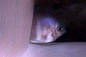 Damselfish hiding behind a soft coral Mayotte