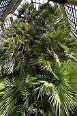 Goethe's palm tree Orto botanico di Padova Italy ; Historic tree planted in 1585