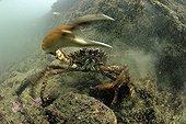 Spider sea near the island of Oleron in summer France
