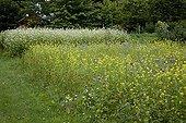 Moutarde et Phacélie cultivées comme engrais vert