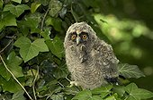 Young long-eared owl (Asio otus) with mouse