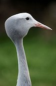Blue Crane or Stanley Crane (Anthropoides paradisea)