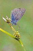 Green-Underside Blue (Glaucopsyche alexis), Gran Paradiso National Park, Valle d'Aosta, Italy, Europe