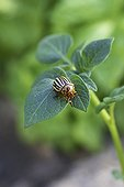 Colorado potato beetle on a piece of potato