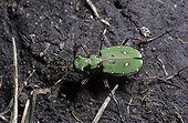 Imago of a Green tiger beetle hunting on soil France