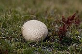 Puffball Pyrenees France