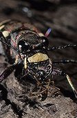 Northern dune tiger beetle just capturing an ant France