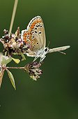 Brown Argus in summer on a plateau Correze France
