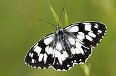 Marbled White butterfly warms in the sun on a mesa France