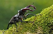 Greater Stag Beetle male walking on a branch of Oak France