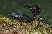 Cerfs-volant marchant sur une branche de Chêne France ; Le mâle poursuit la femelle