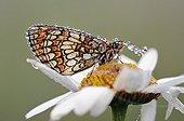Heath Fritillary on a dewy daisy France