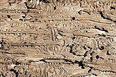 Stock larvae under bark beetles France