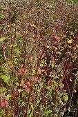 Sarrasin utilisé comme engrais vert dans un jardin bio