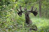 Elan mâle mangeant le feuillage en forêt en Suède