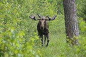Elan mâle marchant dans la forêt en été en Suède