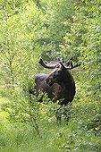 Elan mâle dans la forêt  en été Suède