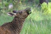 Jeune Elan dans la forêt  en été Suède