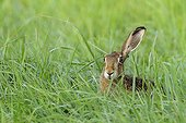 European brown hare in a meadow in summer Hesse Germany
