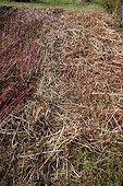 Sarrasin utilisé comme engrais vert dans un jardin bio ; Après fauchage