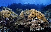 Coral reef top with Red Sea Fire Coral (Millepora dichotoma), Hurghada, Red Sea, Egypt, Africa