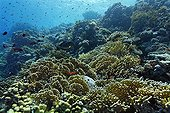 Typical coral reef with Net Fire Corals (Millepora dichotoma) and different kinds of reef fishes, Hurghada, Brother Islands, Red Sea, Egypt, Africa