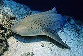Zebra Shark (Stegostoma fasciatum) in a coral reef, Lhaviyani Atoll, Maldives, Indian Ocean, Asia