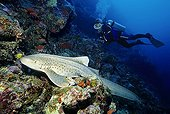 Scuba diver watching a Zebra Shark (Stegostoma fasciatum) at a coral reef, Lhaviyani Atoll, Maldives, Indian Ocean, Asia
