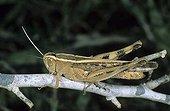 Italian Locust (Calliptamus italicus), Po area, Italy, Europe