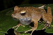 Frog with the vocal sacs inflating Madagascar