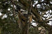 White-fronted brown lemur in a tree Madagascar