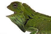 Doria's Anglehead Lizard in studio on white background ; Species native to Malaysia