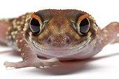 Barking Gecko in studio on white background ; Species native to Australia