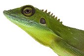 Green Crested Lizard in studio on white background ; Species native to Borneo and Malaysia