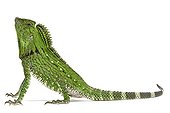 Doria's Anglehead Lizard in studio on white background ; Species from Malaysia