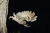 Eastern Screech-Owl (Megascops asio), adult in flight leaving cavity, Rio Grande Valley, South Texas, USA