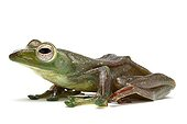 Malayan Flying Frog in studio on white background ; Species native to Malaysia