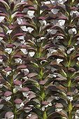 Inflorescences of Spine Acanthus Britain France