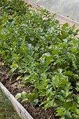 Parsnips in an organic kitchen garden