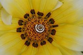 Snail in the heart of a flower of Gazania France