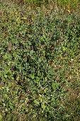 Trèfle utilisé comme engrais vert dans un jardin biologique
