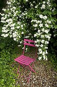 Chair under a mockorange in bloom in a garden