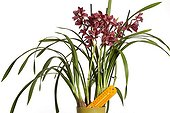 Cymbidium and thermometer symbolizing gardening ; Cultivating orchids needs temperature care