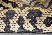Snakeskin, Python, Python spilotes variegatus