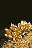 Aeolid nudibranchs (Phyllodesmium kabiranum)