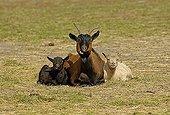 Domestic goat, Capra hircus